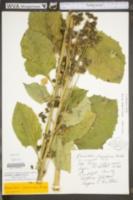 Nabalus crepidineus image