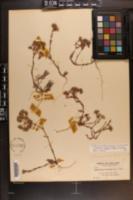 Paronychia erecta image