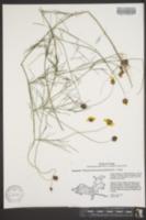 Image of Thelesperma flavodiscum