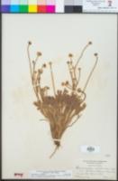 Ranunculus canus image