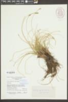 Carex curvula image