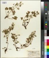 Image of Geranium vulcanicola