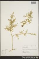 Lycopodium cernuum image