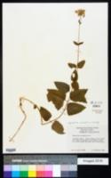 Ageratina aromatica image