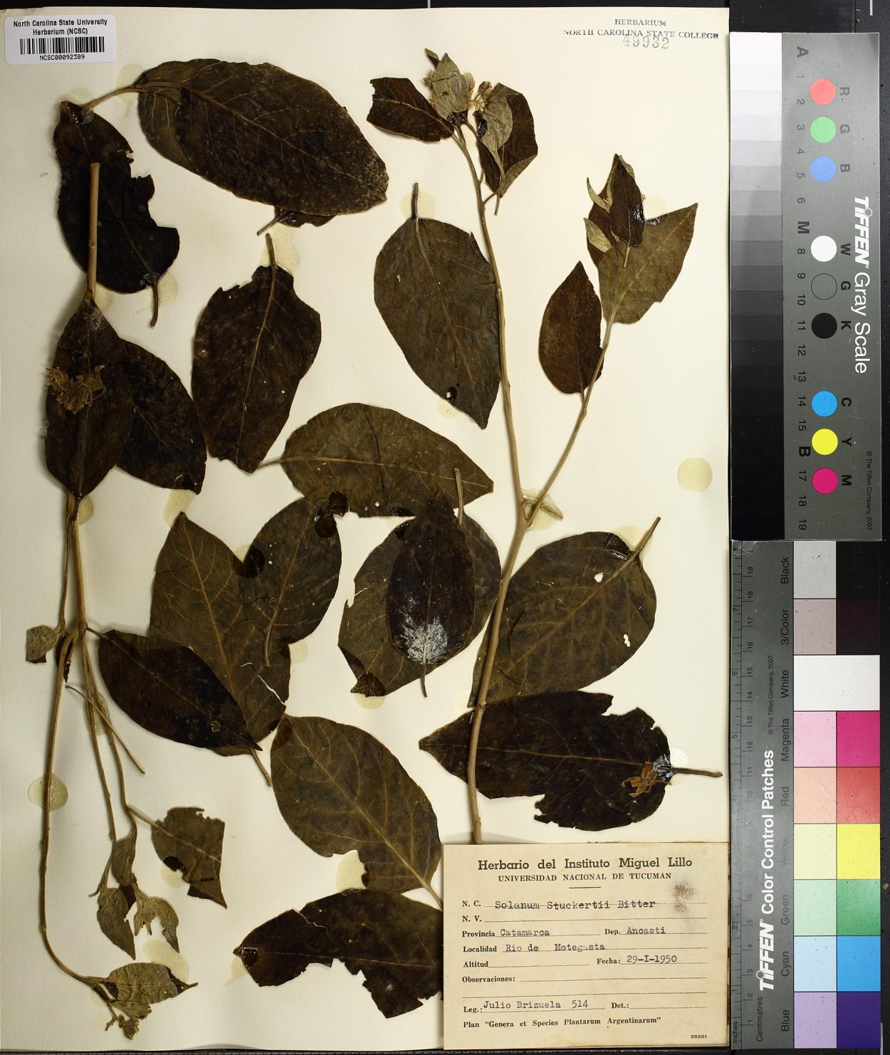Solanum stuckertii image