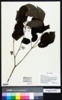 Aralia cordata image