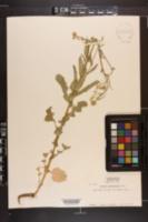 Image of Brassica napobrassica