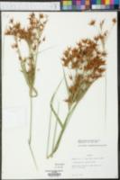 Rhynchospora chapmanii image