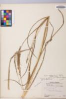 Coleataenia rigidula image