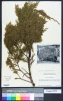 Image of Juniperus compacta