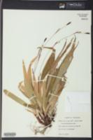 Carex plantaginea image