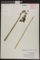 Schoenoplectus californicus image
