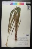 Image of Hierochloe occidentalis