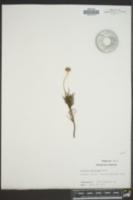 Viguiera stenoloba image