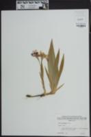 Iris cristata image