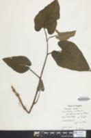 Saururus cernuus image