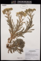 Image of Aeonium simsii