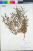 Fumaria officinalis image