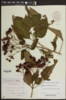 Image of Clerodendrum trichotomum