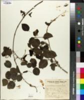 Image of Diplopterys lutea