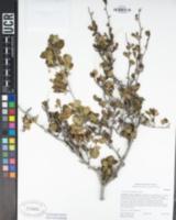 Cercocarpus minutiflorus image