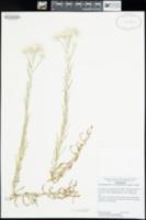 Pseudognaphalium leucocephalum image