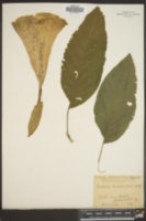 Datura suaveolens image