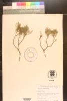Callitris columellaris image