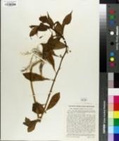 Hybanthus concolor image