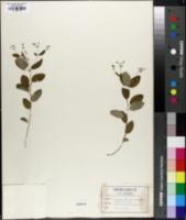 Image of Tithymalopsis apocynifolia