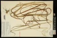 Bothriochloa bladhii image