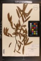 Quercus phellos image