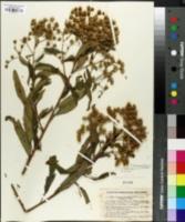 Image of Vernonia polyanthes
