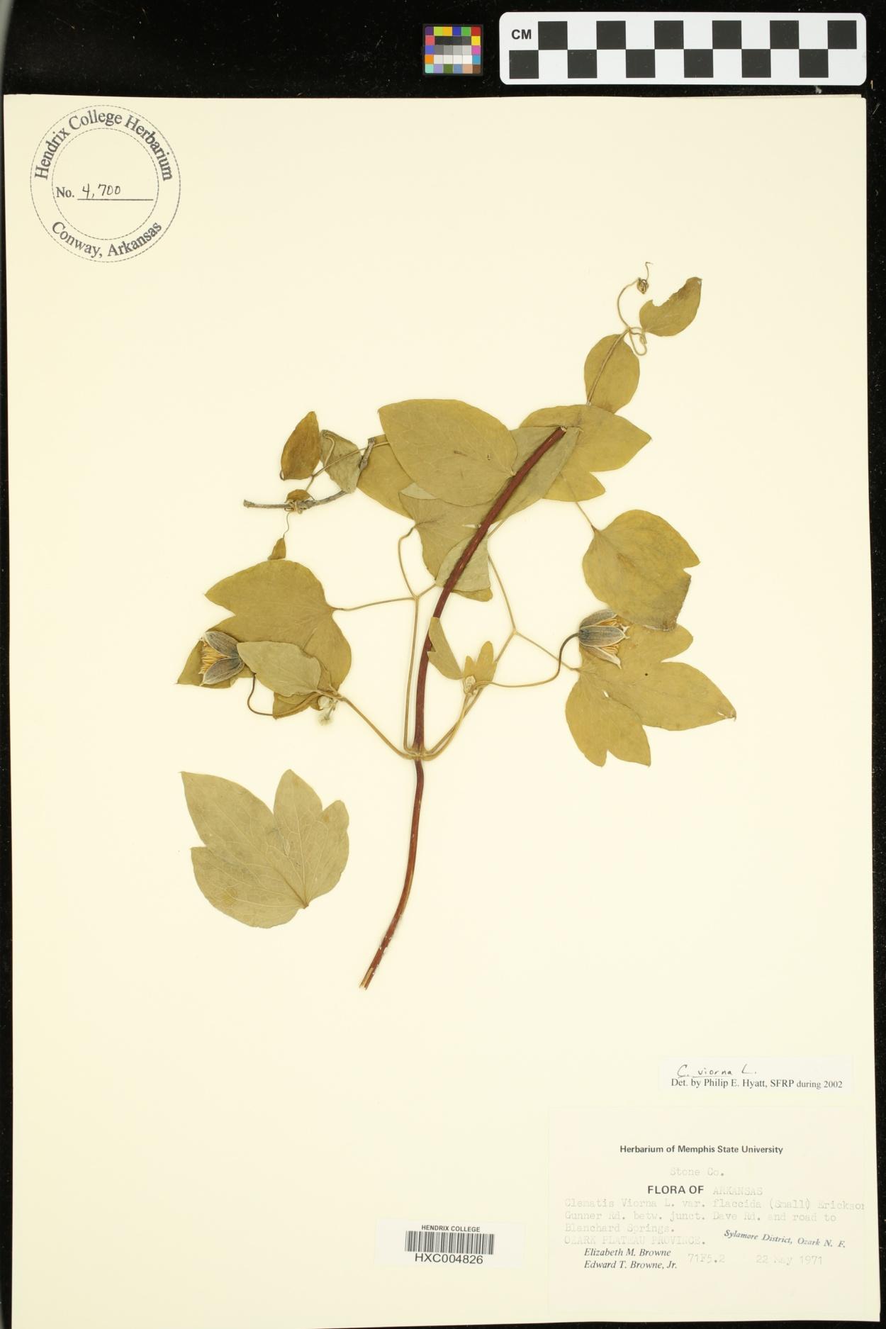 Clematis viorna var. flaccida image