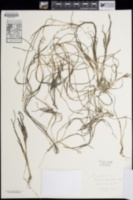 Zostera japonica image