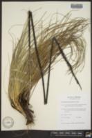 Xerophyllum tenax image