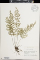 Image of Asplenium cuspidatum