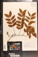 Image of Caesalpinia violacea