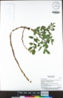 Glycyrrhiza glabra image