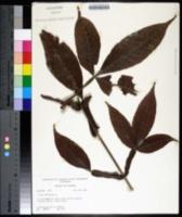 Image of Vitex altissima