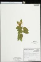 Lonicera x muendeniensis image