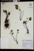 Cheilanthes glauca image