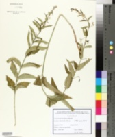 Vincetoxicum hirundinaria image