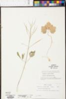 Dentaria heterophylla image