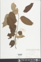 Image of Grewia picta
