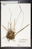Image of Encyclia tampensis