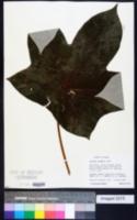 Image of Cecropia insignis