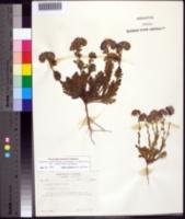 Image of Phacelia strictiflora