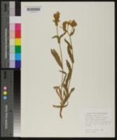 Image of Andryala integrifolia