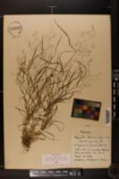 Agrostis schweinitzii image